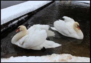 Winter 'swim' on Sweet Valley Village pond.