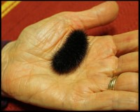 This is the wooly worm my husband dropped into my hand.