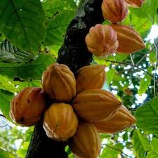These are the pods growing on the cacao tree.