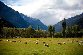 Beautiful New Zealand where sheep safely graze.