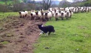 Imagine staring down a herd of sheep like this one.