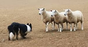 "Here the herding dog is giving the sheep the ""strong eye."""