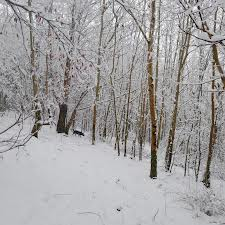 White birch trees are plentiful on the farm.
