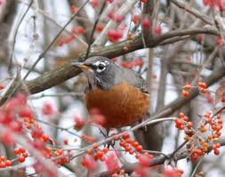 Berries make good eating for the robin.