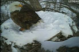 Imagine waking up to ten inches of snow covering you and the nest.