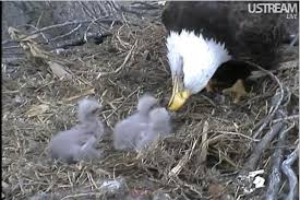 These eaglets will remain in the nest for three months.