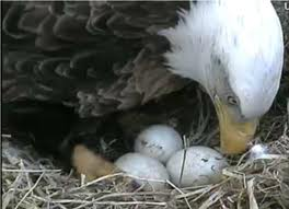 Each eagle would rearrange the eggs as it settled in for hours of sitting.