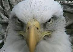 Look for the dark feathers around the eyes and in the head, that's the female eagle.
