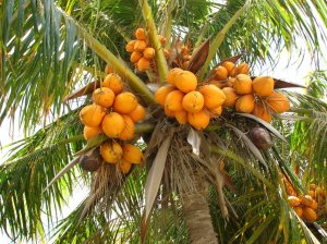 Look out below!!  ere is a healthy crop of coconuts.