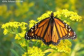 Butterflies love goldenrod.