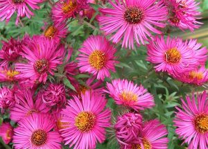 Pretty asters are in bloom now.