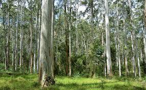 A grove of eucalyptus trees.