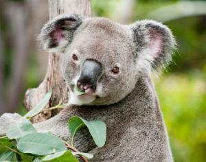 Koala eating Eucalyptus.