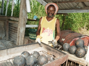 Breadfruit is being harvested.
