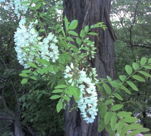 These beautiful, scented blooms belong to the black locust tree.