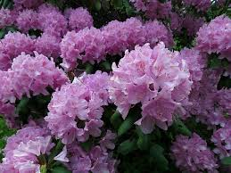 The Rhododendrons are now in full bloom.